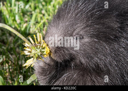 Close-up of a baby Common Porcupine (porcupette or pup) eating a dandelion near Bozeman, Montana, USA.  Captive - Stock Photo