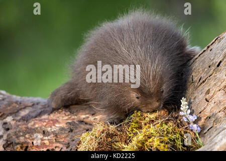 Baby Common Porcupine (porcupette or pup) climbing a dead tree near Bozeman, Montana, USA.  Captive animal. - Stock Photo
