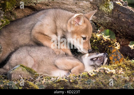 Two Gray Wolf pups wrestling near Bozeman, Montana, USA.  Captive animal. - Stock Photo