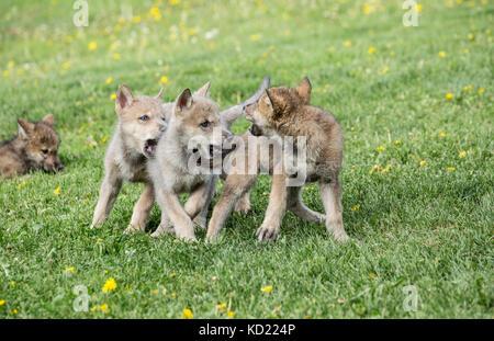Litter of Gray Wolf pups play fighting in a meadow, near Bozeman, Montana, USA.  Captive animal. - Stock Photo
