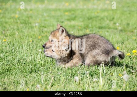 Gray Wolf pup exerting dominance over another one, near Bozeman, Montana, USA.  Captive animal. - Stock Photo
