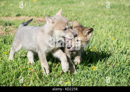 Two Gray Wolf pups biting each other as they walk in a meadow, near Bozeman, Montana, USA.  Captive animal. - Stock Photo