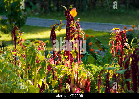 Love-lies-bleeding (Amaranthus caudatus). Flowering plants in a cottage garden. The Bradley Estate, Canton, MA - Stock Photo