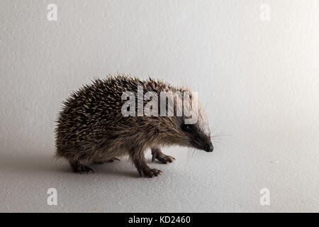 Young wild rescued European hedgehog in studio on white background - Stock Photo
