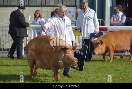 Tamworth pigs showing at the Royal Welsh Show, Builth Wells, 2017 - Stock Photo