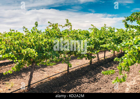 Grapevines in Barossa valley vineyard, South Australia - Stock Photo