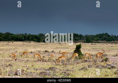 Impala (Aepyceros melampus), Maasai Mara National Reserve, Rift Valley, Kenya, Africa - Stock Photo