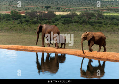 Elephants (Loxodonta africana), Tsavo East National Park, Kenya - Stock Photo