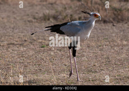 Secretary bird, Masai Mara, Kenya - Stock Photo