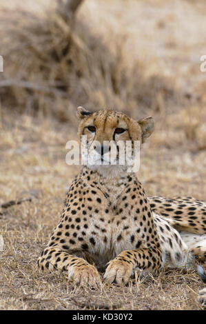 Cheetah (Acinonyx jubatus), Masai Mara, Kenya - Stock Photo