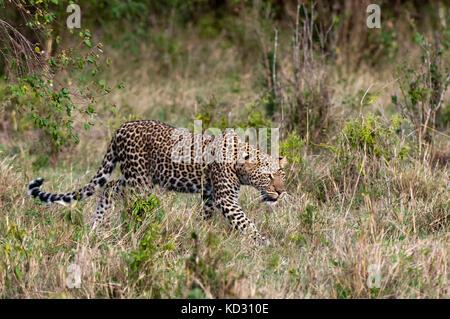 Leopard (Panthera pardus), Masai Mara, Kenya - Stock Photo