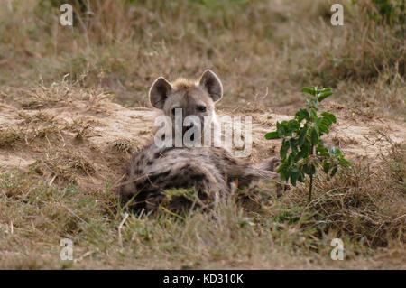 Spotted Hyena (Crocuta crocuta), Masai Mara, Kenya - Stock Photo