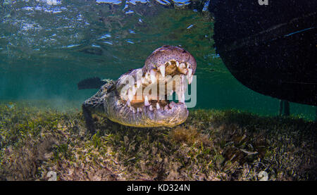 Underwater portrait of american saltwater crocodile on seabed, Xcalak, Quintana Roo, Mexico - Stock Photo