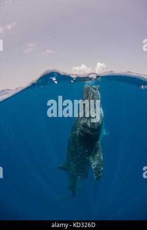Whale shark feeding on water surface, Cancun, Quintana Roo, Mexico, North America - Stock Photo