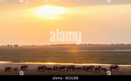 Elephants by river, Chobe national park, Zambia, Africa - Stock Photo