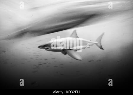 Great white shark (carcharodon carcharias) shot at slow shutter speed, Guadalupe, Mexico - Stock Photo
