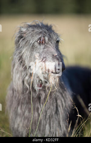 Portrait of scottish deerhound - Stock Photo