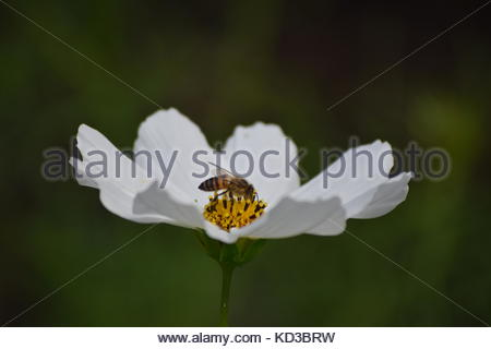 A bee sitting on a white flower in Eastern Cape, South Africa - Stock Photo