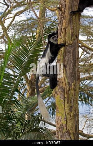 Adult Colobus monkey climbing Colobus guereza Acacia tree Elsamere Naivasha Kenya - Stock Photo