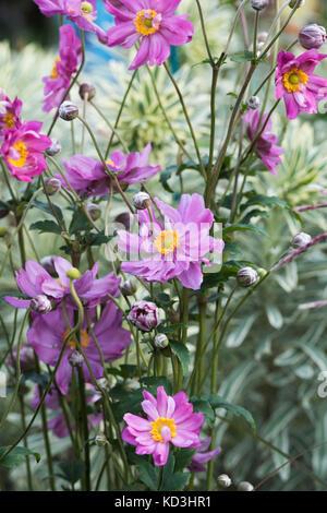 Anemone hupehensis var. japonica 'Prinz Heinrich'. Japanese anemone 'Prinz Heinrich' flowers - Stock Photo