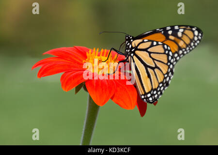 Close up of a monarch butterfly on a gerbera daisy against a green background. - Stock Photo