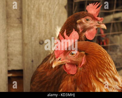 some cage free, brown laying hens in a farmyard. Egg layer poultry on  a free range farm. Brown egg laying hens. - Stock Photo