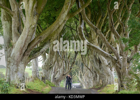Avenue of ancient beech trees at Bregagh Road, Ballymoney, County Antrim, Northern Ireland. - Stock Photo