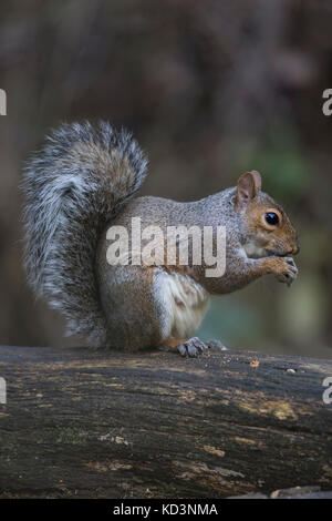 Grey Squirrel Sciurus carolinensis close up eating a nut and sitting on a branch Stock Photo