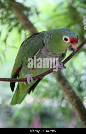 Red-Lored Amazon parrot (Amazona autumnalis), Jaguar Rescue Centre, Punta Cocles, Puerto Viejo de Talamanca, Limón, - Stock Photo
