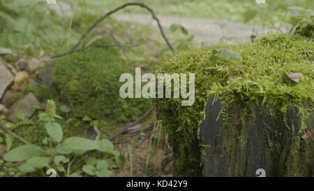 Stump in the forest. Old tree stump covered with moss. Stump green moss spruce pine coniferous tree forest park - Stock Photo