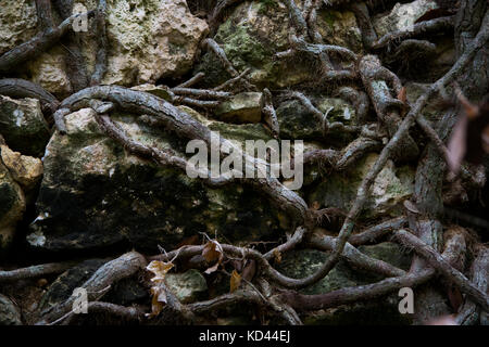 The roots of a tree making their way through the uneven stones of a rubble wall in the Buskett woodland in Malta, - Stock Photo