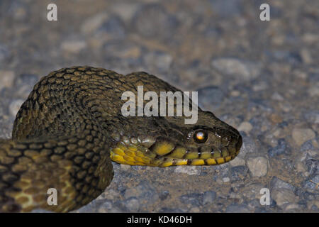 While making our way out of the Bald Knob Wildlife Refuge we came across a 4ft Diamond Back Water Snake (non-venomous) - Stock Photo