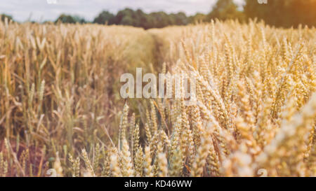 Dry golden wheat spikes in a filed on sunny day ready for harvest before autumn - Stock Photo