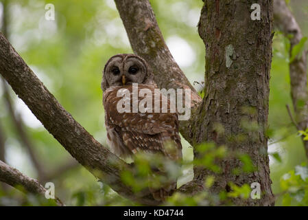 Barred Owl Perched in Tree - Stock Photo