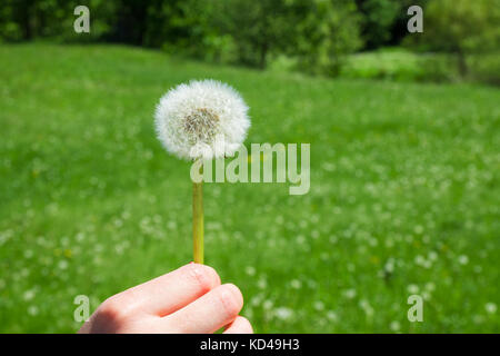 Woman holds a dandelion and blows on it. Woman hand holding a dandelion against the green maedow - Stock Photo
