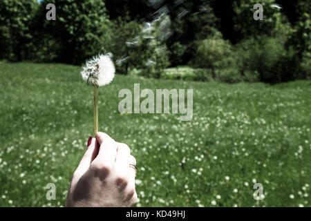 Woman holds a dandelion and blows on it. Woman hand holding a dandelion against the green maedow. Bleach photo - Stock Photo