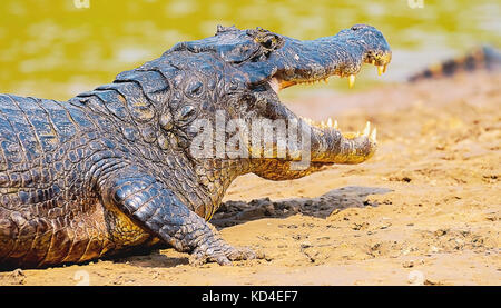 Alligator taking a sunbath on a sandbank on the margins of a river in Pantanal, Brazil. Alligator with open mouth, - Stock Photo