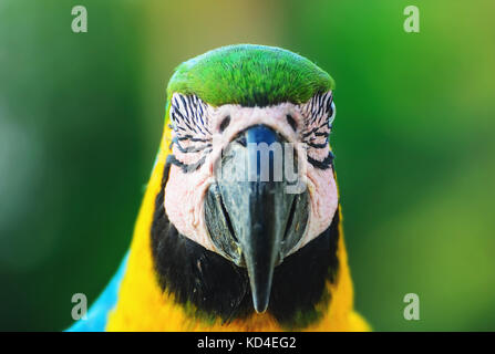Blue-and-yellow macaw known as Arara-caninde in Brazil. Front view of a Macaw with blue wings and yellow belly. - Stock Photo
