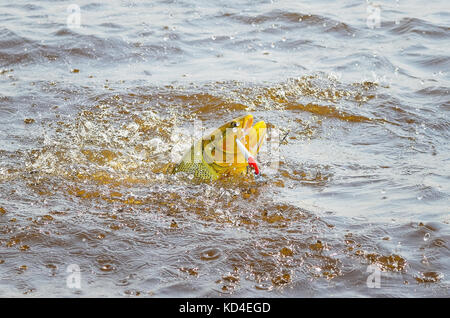 Dourado fish hooked by a artificial bait fighting and jumping out of water, beautiful golden fish, sport fishing - Stock Photo