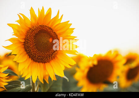 Sunflowers in the fields during sunset - Stock Photo