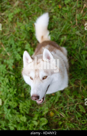 Siberian Husky unusual red color looks up is waiting for command or delicious treats during walk - Stock Photo