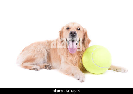 labrador golden retriever in front of white background studio isolated - Stock Photo