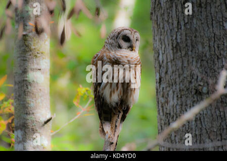 Barred Owl in Swamp - Stock Photo
