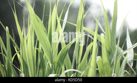 Close up of leaves of immature corn. Immature corn plant with green leafs. Leaves of immature corn - Stock Photo