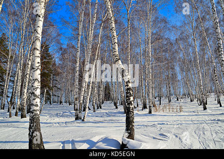 Sunny winter day in birch grove - white trunks of birch trees with blue shadows, ski tracks on a snow, early spring - Stock Photo