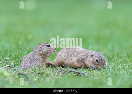 European ground squirrel (Spermophilus citellus) in a meadow, Neusiedler See national park, Burgenland, Austria - Stock Photo