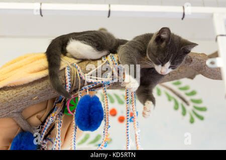 Gray kitten sleeps on a wooden branch dangling its paws down - Stock Photo