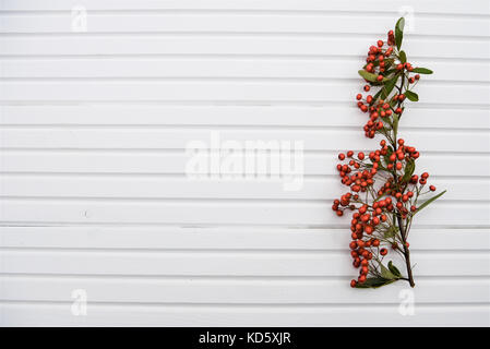 nature photography image of red firethorn plant with green leaves and small  red berries on white wooden  background - Stock Photo