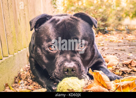 black staffordshire bull terrier dog lying down outside looking at the camera with big round sad cute eyes. he has - Stock Photo