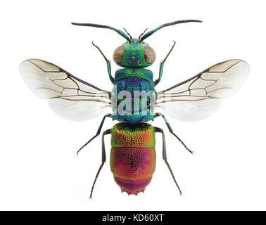 Beautiful cuckoo wasp Chrysis comta, from Europe - Stock Photo